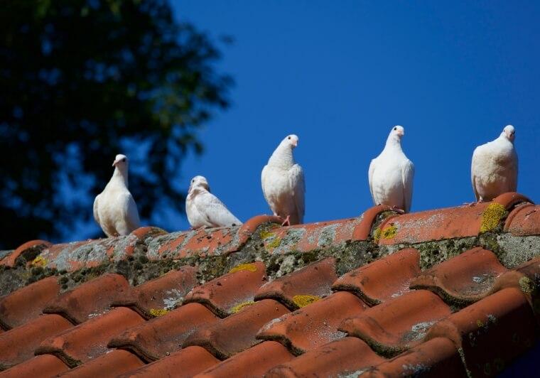 Dakpannendak met duiven